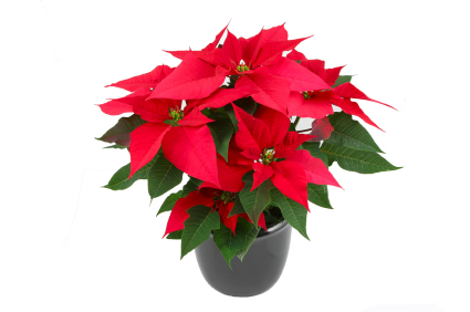 Tips To Keep Poinsettias Blooming Long After Christmas