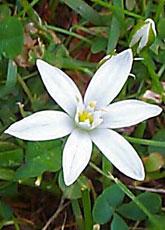 Star of Bethlehem - single flower