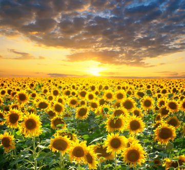 A field of Golden Sun Flowers