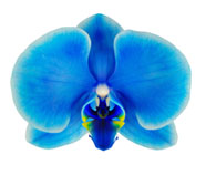 Blue Mystique Orchid, world's first blue orchid