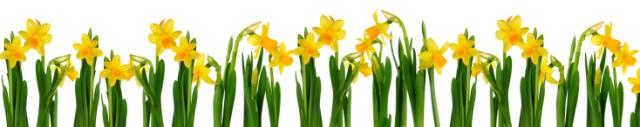 Lots of Daffodils
