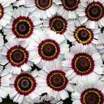 Chrysanthemum carinatum bright eye