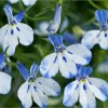 Lobelia Icy Blue Waterfall