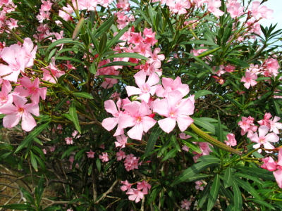 Are Oleander Plants Poisonous To Humans