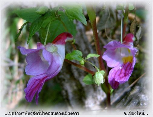 The Parrot Flower
