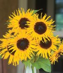 Sunflower - frilly hybrid