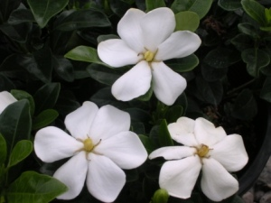 A variety of Gardenia created by Toyota