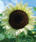 Sunflower - coconut ice hybrid