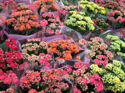 The colors of Kalanchoe