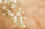 Gypsophila - Baby's Breath