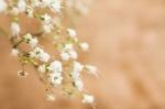 Gypsophila - Baby's Breath