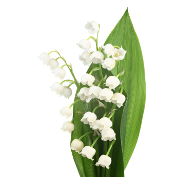 grower direct  flower varieties  lily of the valley, Beautiful flower