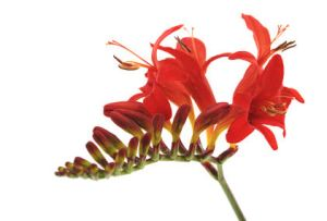 A close up view of the Montbretia flower
