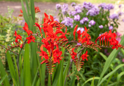 Montbretia (crocosmia) in the garden