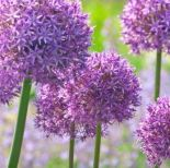 Allium flowers, purple