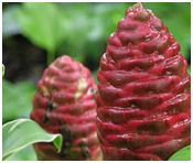 Pine-cone or Shampoo Ginger - Zerumbet