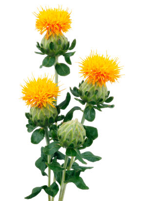 the humble safflower may not be as pretty or fragrant as the rose but it is one of the oldest most versatile crops