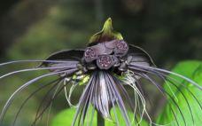 Bat flower, tacca chantrieri