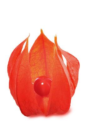 An opened Chinese Lantern exposing the berry