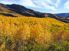 Pando the Quaking Aspen