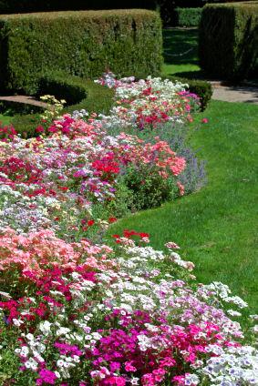 Phlox flowers in the Garden