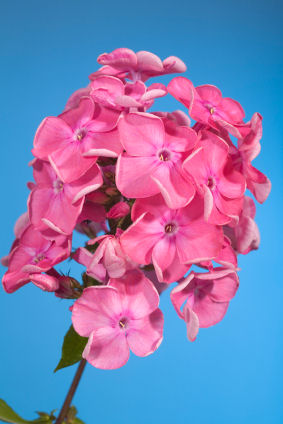 Phlox - Pink