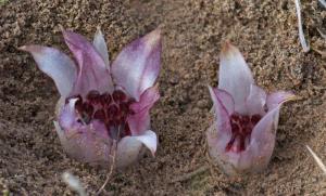 Underground Orchid