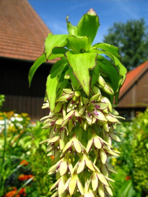 Pineapple Lily - Eucomis