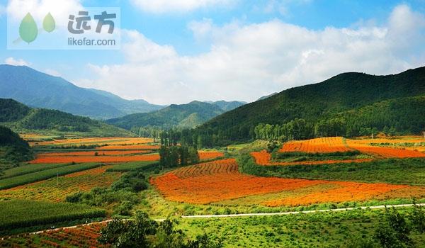 China Marigold Fields