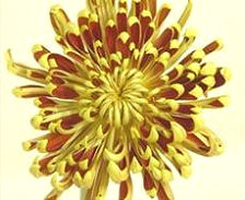 fuego cremon disbud chrysanthemum