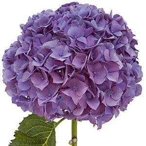 """The hydrangea """"hortensia"""" in spanish is a genus of about 75"""