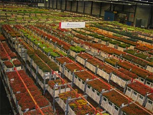 The Worlds Largest Flower Auction & Market