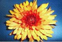 penza cremon disbud chrysanthemum