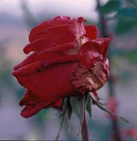 Rose with botrytis