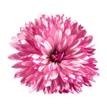 fun flower facts chrysanthemum  grower direct fresh cut flowers, Natural flower
