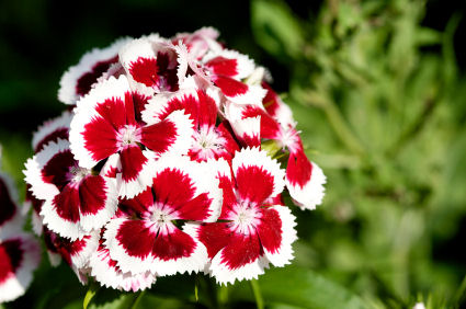 Sweet william dianthus barbatus grower direct fresh cut flowers whats red and white and edible its not a candy cane but its just as recognizable its the sweet william flower mightylinksfo