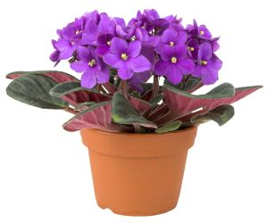 February - Violet