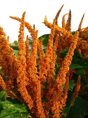 Upright Amaranthus