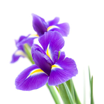 fun flower facts the elegant iris  grower direct fresh cut, Natural flower