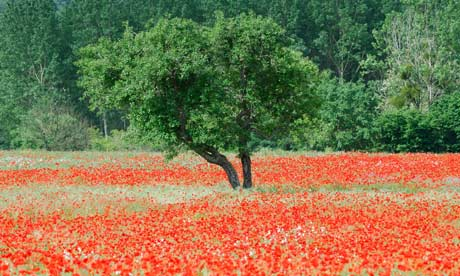 Poppies are still common in France