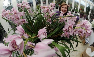 Orchid with 240 Blooms