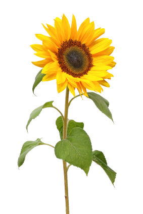 uses for sunflower  grower direct fresh cut flowers presents…, Beautiful flower