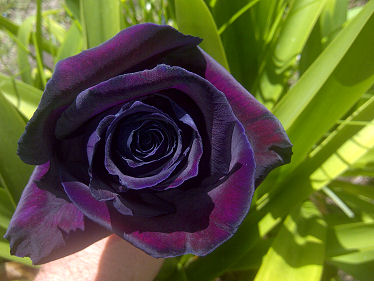 New Black Bird Rose