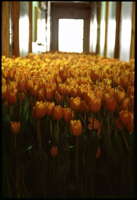 BLOOM-by-Anna-Schuleit-orange-Tulips