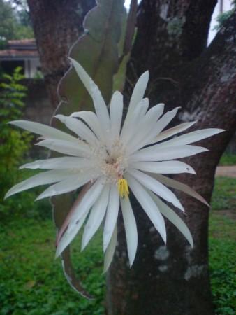 Kadupal Flower