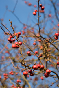 Crab Apple branches and berries