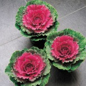 Flowering Cabbage, Songbird Red