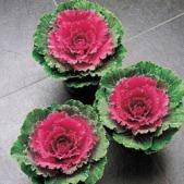 Flowering Cabbage, Songbird Red