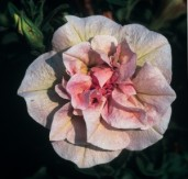 Petunia-SweetSunshine