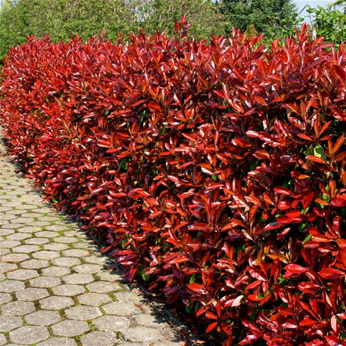 red tipped photinia grower direct fresh cut flowers. Black Bedroom Furniture Sets. Home Design Ideas
